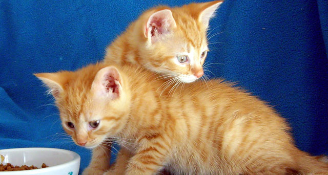 ginger-kittens
